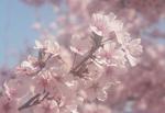 桜05.jpg